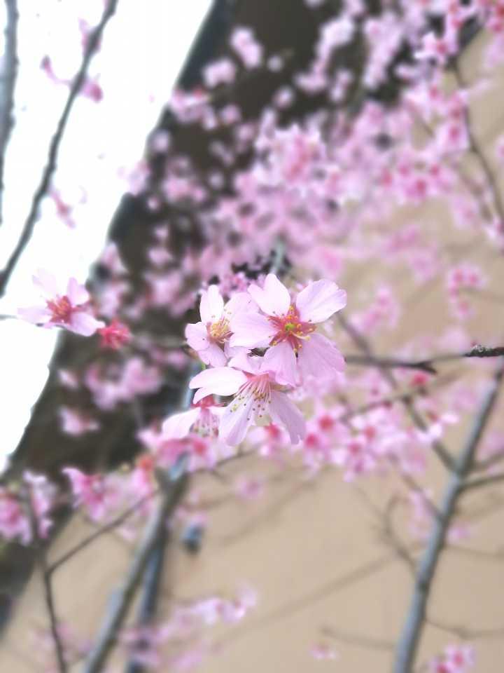 早春桜開花!! ~ 山鹿平山温泉 旅館善屋通信vol.43